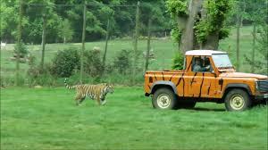 safari jeep tiger chases safari jeep youtube