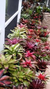 121 best bromeliads images on pinterest air plants plants and