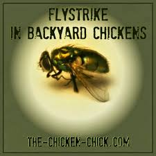 Backyard Fly Repellent The Chicken Flystrike In Backyard Chickens Causes