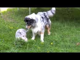 australian shepherd welpen 6 monate australian shepherd welpen 6 wochen youtube