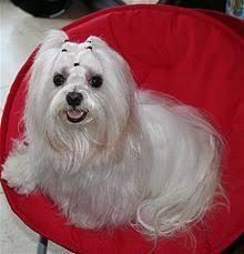 affenpinscher maltese mix maltese dog wikipedia
