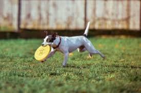australian shepherd frisbee dog frisbee training with the miami puppy training