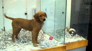 akc defends support of laws to limit pet store sale bans