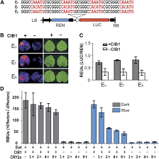 Flag Tag Dna Sequence Blue Light U2013dependent Interaction Between Cryptochrome2 And Cib1