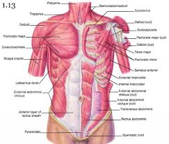shoulder and chest muscles human anatomy lesson