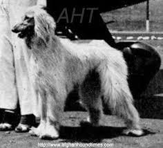 afghan hound breeders new york afghan hound times rana of chaman of royal irish by steve