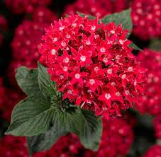 Pentas Flower Starcluster Red Pentas Monrovia Starcluster Red Pentas