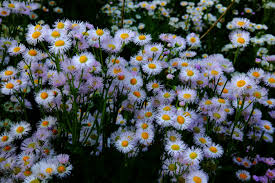 spring daisy flowers flowers free nature pictures by