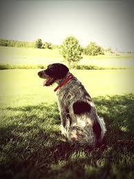 pointer dog breed information pictures characteristics u0026 facts