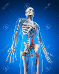 3d Human Anatomy 3d Human Skull Bones Blue Human Anatomy Chart