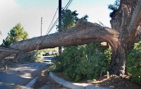 large of tree falls and knocks wires in tarzana