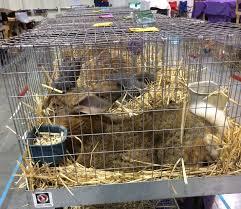 classic rabbit 25 best west coast classic rabbit show images on
