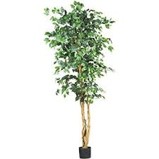 nearly 5209 ficus silk tree 6 green