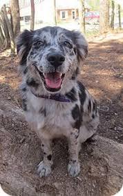 australian shepherd knoxville tn gilbert az catahoula leopard dog australian shepherd mix meet