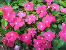 vinca flower vinca flower plant knowledge base lookseek
