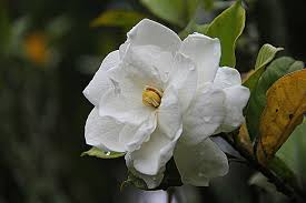 Gardenias by Learn About Nature Gardenia Flowers Learn About Nature