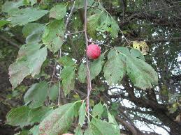 plum fruit has hard dark spots ask an expert