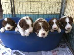bearded collie adoption pedigree kc registered bearded collie puppies in llanwrda