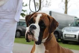 boxer dog crufts 2015 jimmy choo at jinnybrux