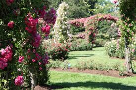 connecticut garden journal climbing roses wnpr news