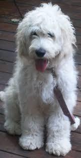 american eskimo dog rescue wichita ks browse by tag puppies page 1