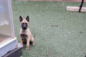 belgian shepherd rescue california view ad belgian malinois puppy for sale california imperial