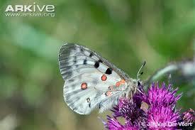 apollo butterfly photo parnassius apollo g77640 arkive