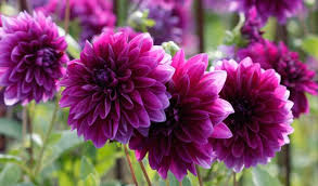types of purple dahlia decorative type