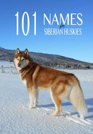 husky names 101 great name ideas for your siberian husky