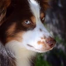 slash v australian shepherds 238 best aussies images on pinterest aussies animals and aussie