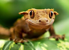 Halloween Crested Gecko Morph by Meet The Crested Gecko Crested Gecko Geckos And Reptiles