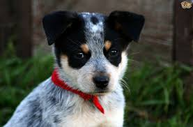 australian shepherd x blue heeler what your choice of dog say about you pets4homes