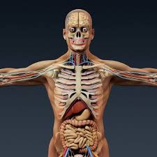 Human Male Anatomy Human Male Anatomy Body Skeleton And Internal Organs 3d Model