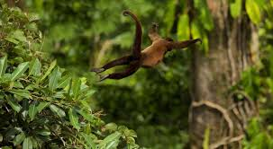 monkey swinging through the rain forest magazine articles wwf