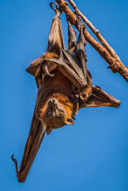 a bat with her baby wild view