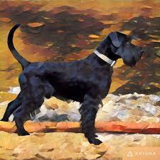 affenpinscher alberta standard black schnauzer painting puppie pinterest black