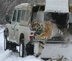 siberian tiger project wcs russia