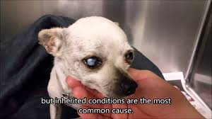 cataracts in dogs 5 year old blind stray chihuahua youtube
