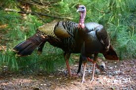 thanksgiving tidbits turkey tidbits is it a wattle a snood or a dewbill