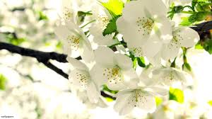 apple tree bloom wallpapers white flowers google search white flowers pinterest white