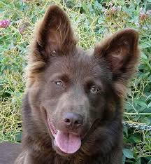 australian shepherd with german shepherd 18 best australian german shepherd mix images on pinterest