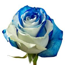 white blue roses white and blue roses blooms farm direct magnaflor