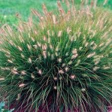 ornamental grasses lawn landscape