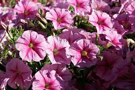 pretty flower garden ideas easy u0026 pretty flower combination ideas for landscaping