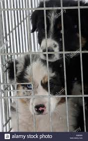 mini australian shepherd 7 weeks australian shepherd puppies 7 weeks in cage kennel stock photo