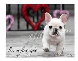 bulldog at sight cards creme