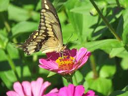 free photo butterfly close up pink flowers free image on