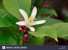 lemon tree citrus limon blossom ornamental plant and crop