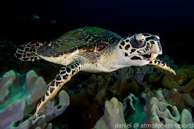 why are there so many sea turtles in apo island atmosphere
