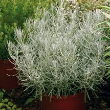 immortelle d italie cuisine immortelle d italie helichryse italicum plants d aromatique au